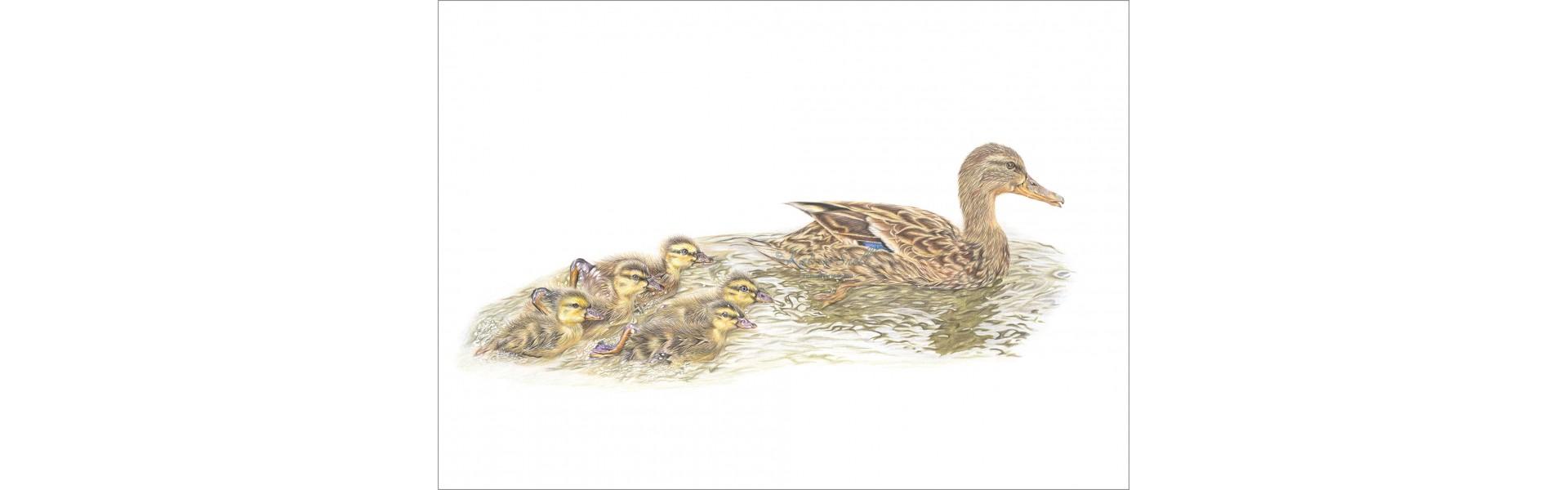 Mothers little ducklings
